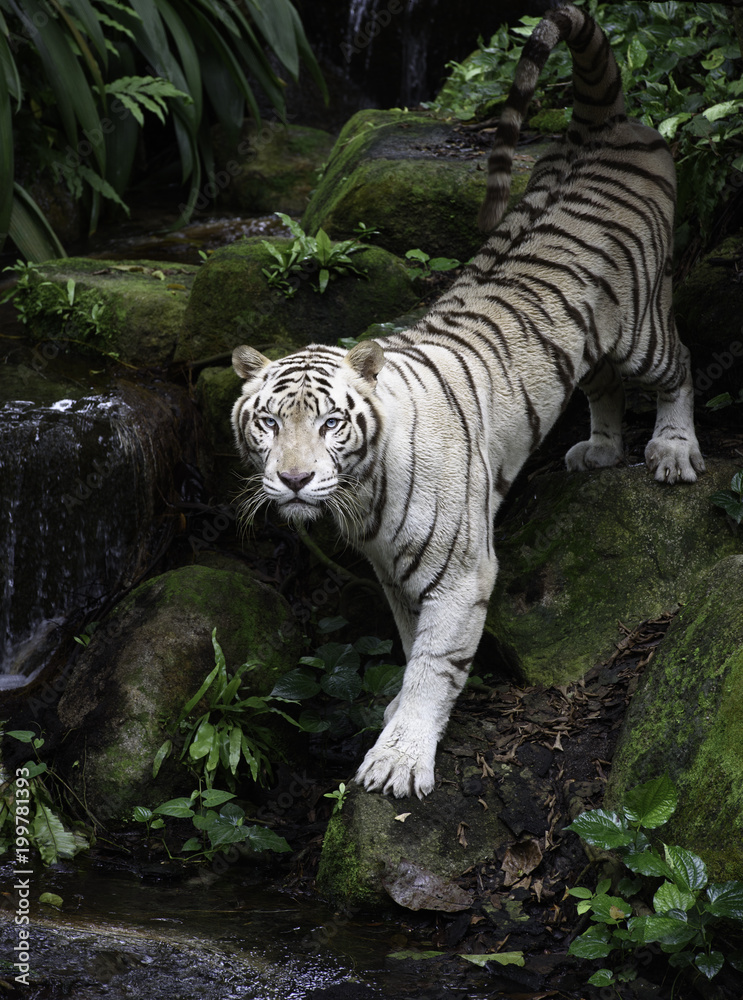 Fototapeta Tiger in a jungle. White Bengal tiger stands on a river bank with forest as background