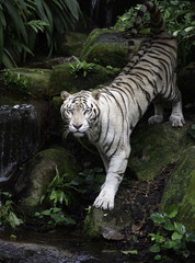Fototapeta Zwierzęta Tiger in a jungle. White Bengal tiger stands on a river bank with forest as background
