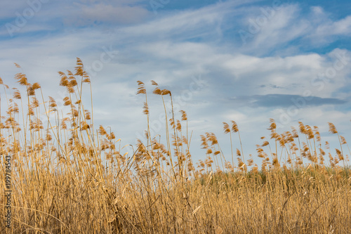 Fotografie, Obraz  Picturesque view of field of sedge or reed against blue sky with white clouds