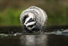 European Badger (Meles Meles - Eurasian Badger) In His Natural Environment. Cute Black And White Mammal, Bathing In The Water. Badger Walking And Bathing In A River.
