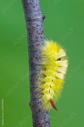 Valokuva  Calliteara pudibunda (pale tussock) - larva