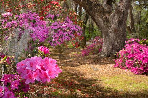 Pathway through beautiful blooming park. Azaleas flowers blooming under the tree on a spring morning. Magnolia Plantation and Gardens,Charleston ,South Carolina ,USA.
