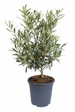Olea Europaea En Pot