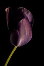 Purple Tulip On Black