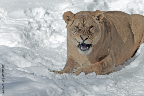 Foto  lioness with a predatory grin on snowy background