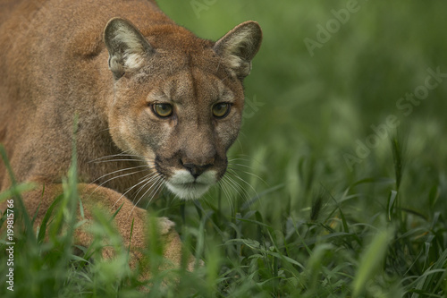 In de dag Puma Mountain Lion Stalking