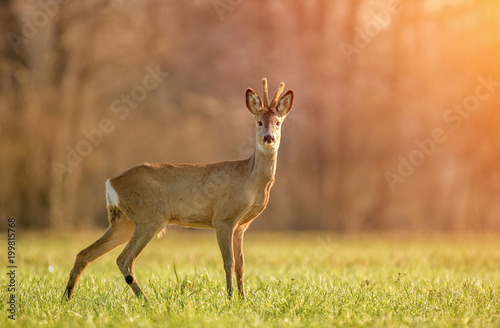 Tuinposter Ree Wild roe deer in early morning