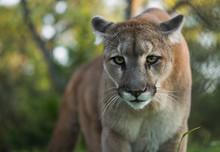 Mountain Lion Stare