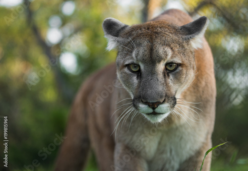 Canvas Prints Puma Mountain Lion Stare