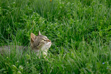Gray And White Cat Lay In Grass