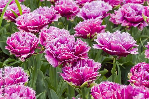 Foto op Canvas Azalea Tulips of the Mascotte species.