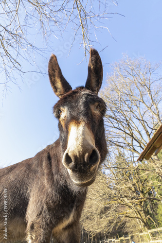 Poster Ezel donkey at the meadow