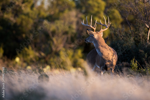 Fototapety, obrazy: White-tailed Deer Large Buck