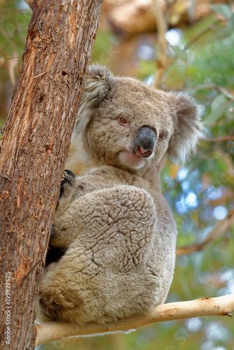 Staande foto Koala The koala (Phascolarctos cinereus, or, inaccurately, koala bear) is an arboreal herbivorous marsupial native to Australia