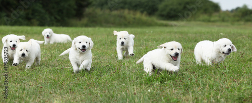 Beautiful group of golden retriever puppies running Wallpaper Mural