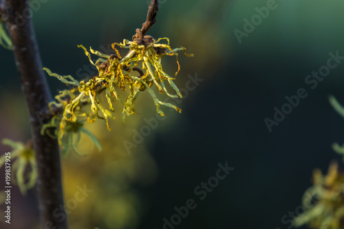 Fotografia  gałązka krzewu oczar z żółtymi kwiatami, ciemne rozmyte tło