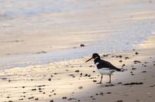 Oystercatcher On The Beach