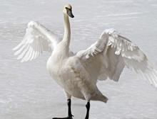 Wild Trumpeter Swan Standing O...