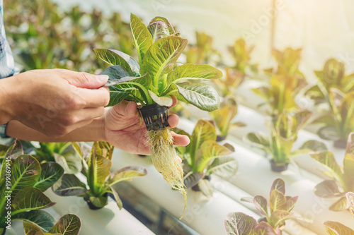 Close up of Farmer, Owner hydroponics vegetable farm in the greenhouse inspects the quality of the organic vegetables for harvest.