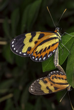 Copulating Butterflies Extreme...