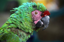 Scruffy Green Macaw With Green Blue Feathers & Pink & Red Markings On Face, Santa Marta, Colombia.