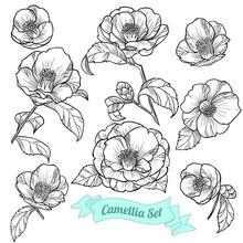 Set Of Camellia. Vector Illust...