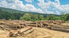 Log Yard Of Peeled Tropical Ra...