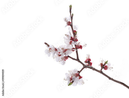 Fruit flowers blooming with twig isolated on white, with clipping path