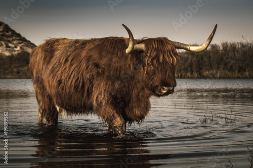 Fotografie, Obraz  Highland Cattle in the dunes of Bergen aan Zee at the coast of the Dutch Norther