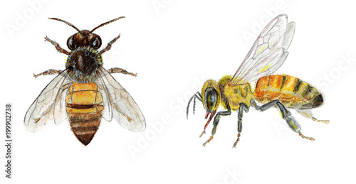 Photographie Hand painted illustration watercolor bee