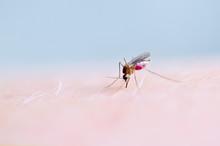 Close Up Of Mosquito Sucking Blood On Human Skin, Mosquito Is Carrier Of Malaria. Encephalitis. Dengue Zika Virus