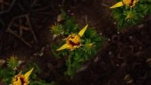 Yellow Sunflower Flowers Openi...