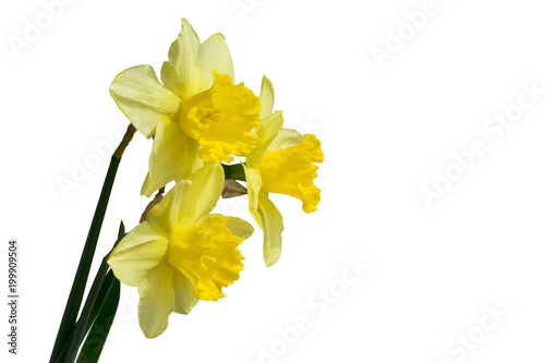 Staande foto Narcis Daffodil flower or narcissus bouquet isolated on white background cutout