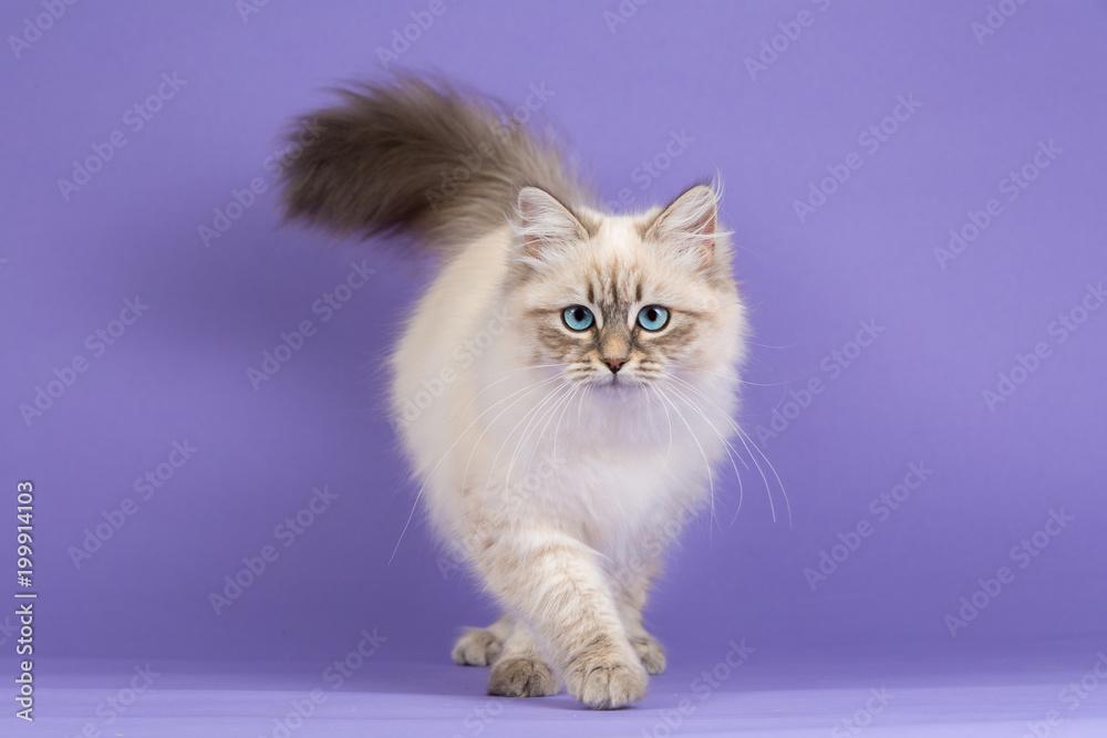 Fototapeta Amazing Siberian cat on purple