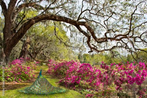 Naklejka premium Piękny ptak w kwitnącym ogrodzie. Azalie kwitną pod dębem. Magnolia Plantation and Gardens, Charleston, Południowa Karolina, USA