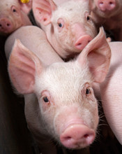 Pig Snout. Pigs Breeding. Piglets. At Stable. Farming. Netherlands. Curious Pigs.