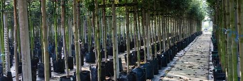 Poster Bamboe Tree nursery