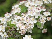 Blühender Weißdorn, Crataegus
