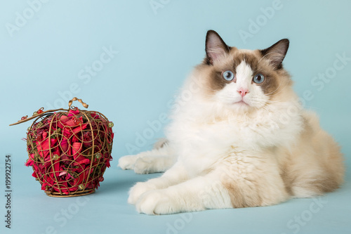 Foto  regdoll male cat looking at camera
