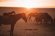 Wild Horses Of The Namib Desert