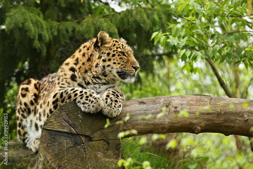 Tuinposter Luipaard Endangered amur leopard in the nature looking habitat. Wild animals in captivity. Beautiful feline and carnivore. Very rare kind of big cats species. Panthera pardus orientalis.