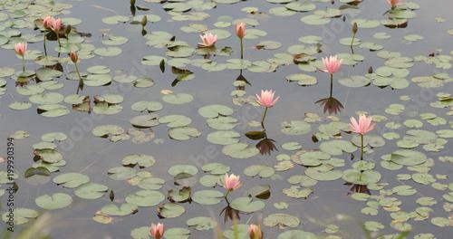 Deurstickers Waterlelies Waterlily and lake