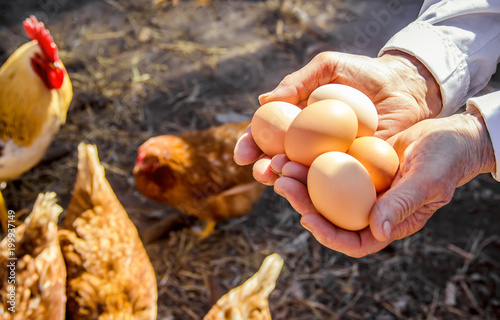 Chicken eggs in hands. Selective focus. Wallpaper Mural