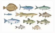 Set Of Elegant Drawings Of Fish Isolated On White Background. Bundle Of Underwater Animals Or Creatures Living In Sea And Ocean. Colorful Vector Illustration Hand Drawn In Vintage Engraving Style.