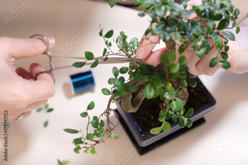 Hands of a man with special scissors for pruning wood branches of bonsai