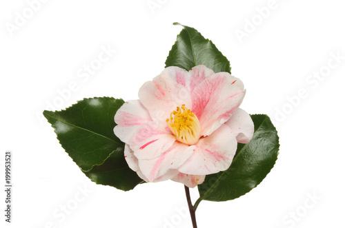 Canvas Print Variegated camellia flower