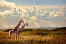Group Of Giraffes In The Seren...