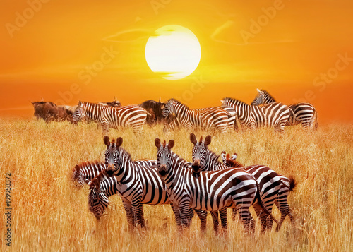 Poster Zebra Group of african zebras at sunset in the Serengeti National Park. Africa. Tanzania. Artistic african natural image.