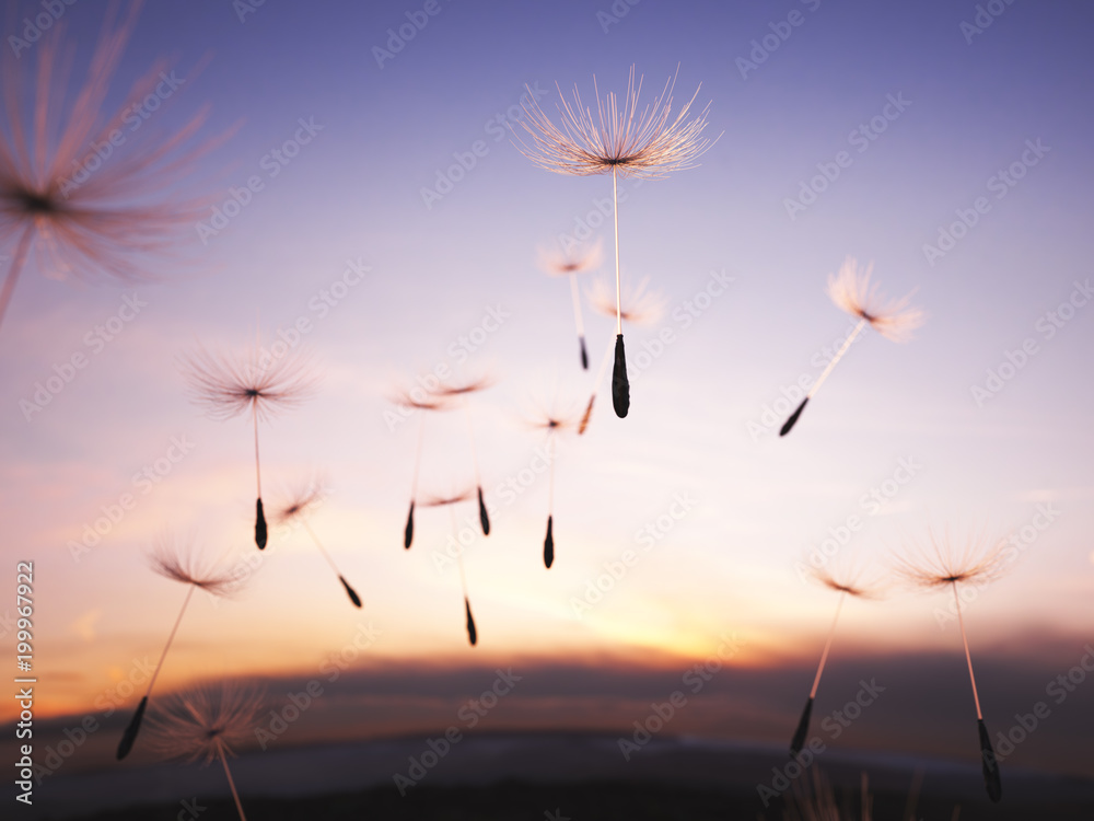 Fototapety, obrazy: Dandelion seeds in the air