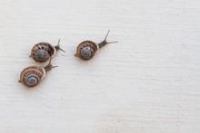 Race Of Large Grape Snails Wit...